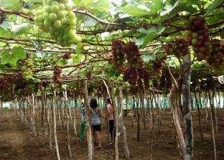 Vườn nho Thái An ở ninh thuận